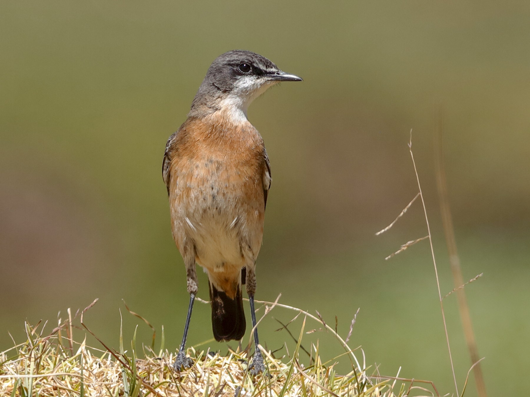 Red-breasted Wheatear - Holger Teichmann