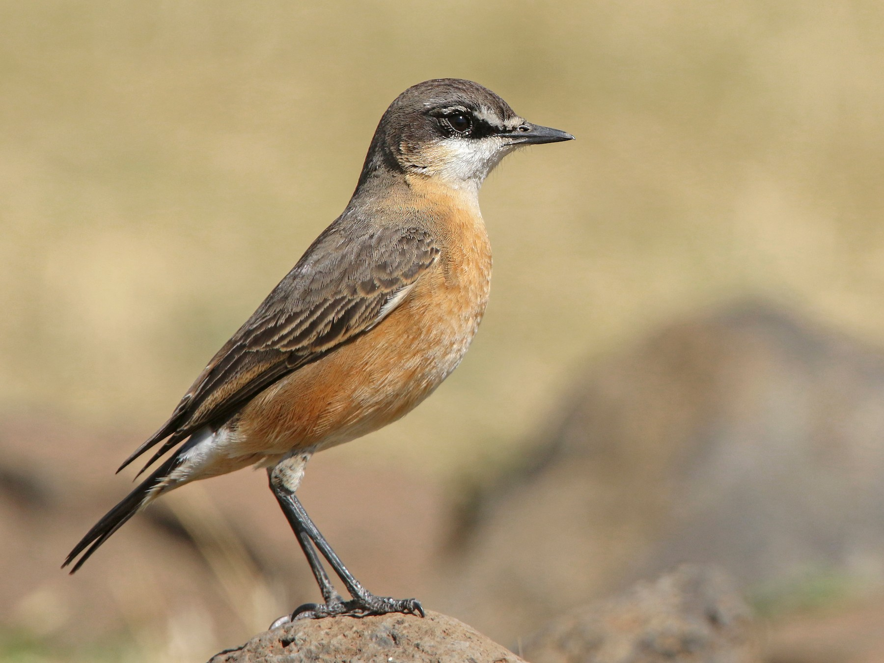 Red-breasted Wheatear - Luke Seitz
