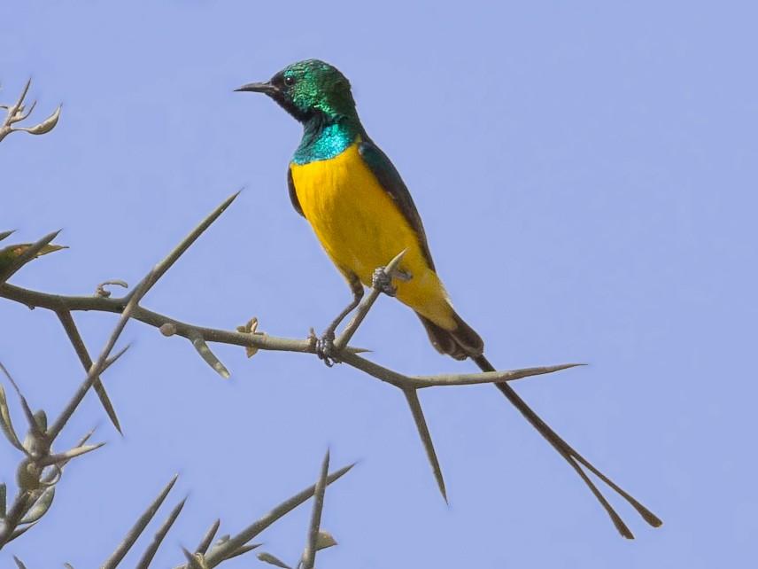 Pygmy Sunbird - Eric francois Roualet