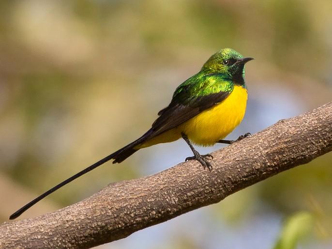 Pygmy Sunbird - Mattias Hofstede