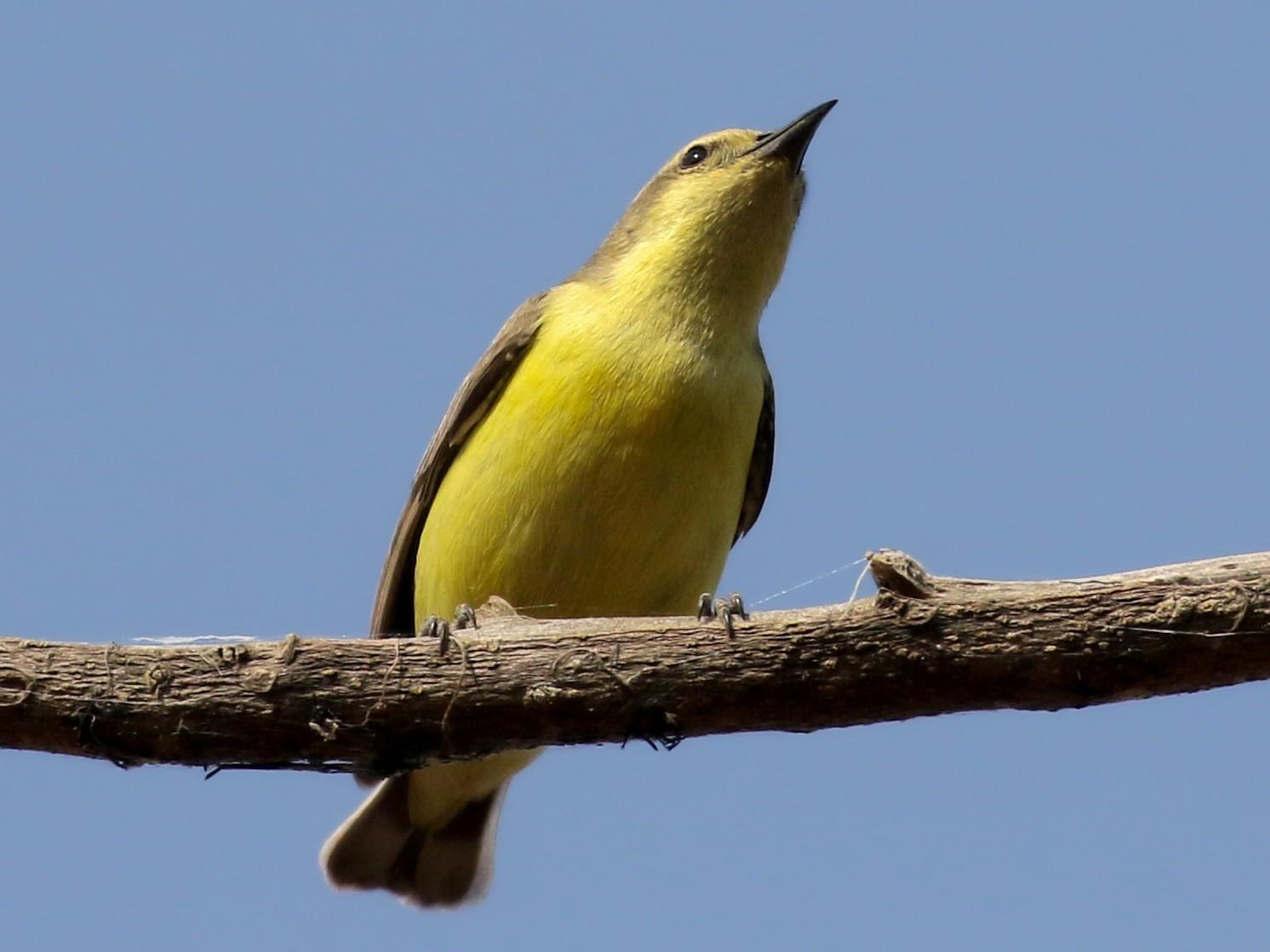 Pygmy Sunbird - Jay McGowan