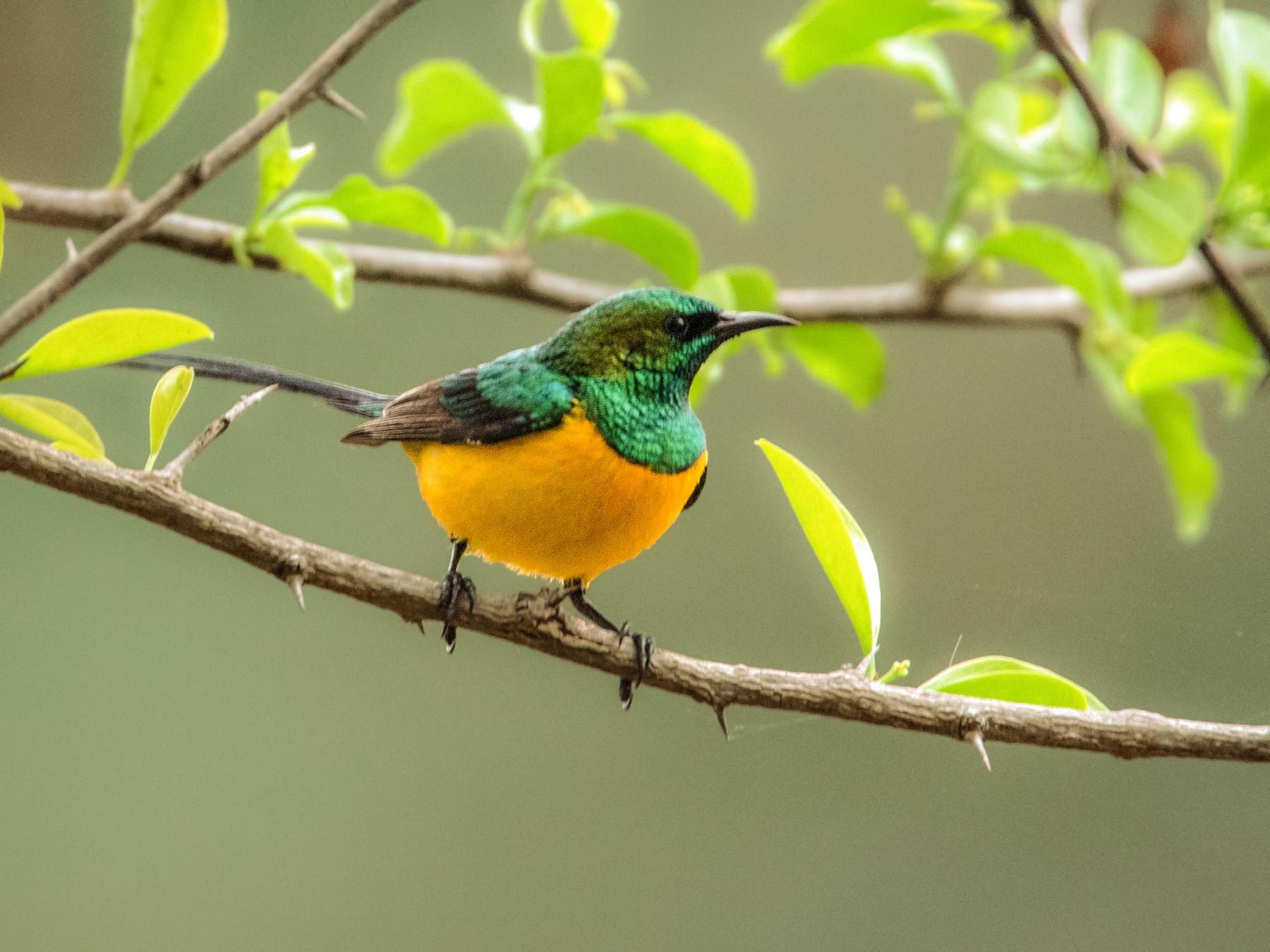 Pygmy Sunbird - Ian Davies