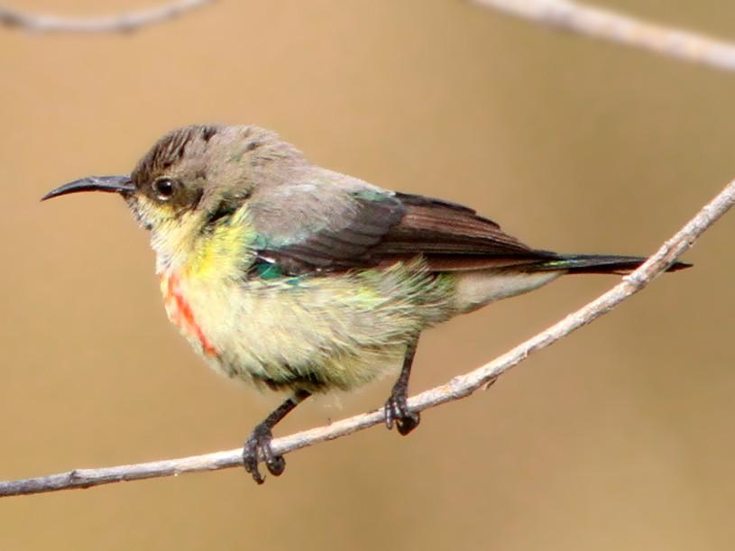 Beautiful Sunbird - Don Roberson
