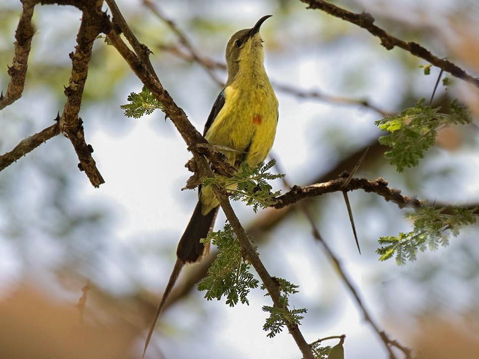 Beautiful Sunbird - Lars Petersson