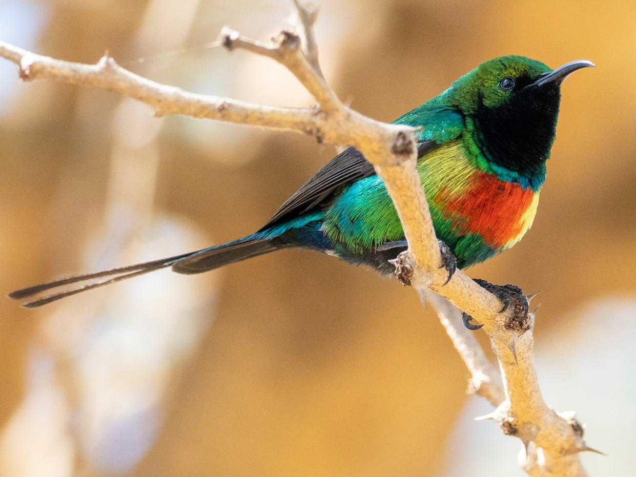 Beautiful Sunbird - Forest Jarvis