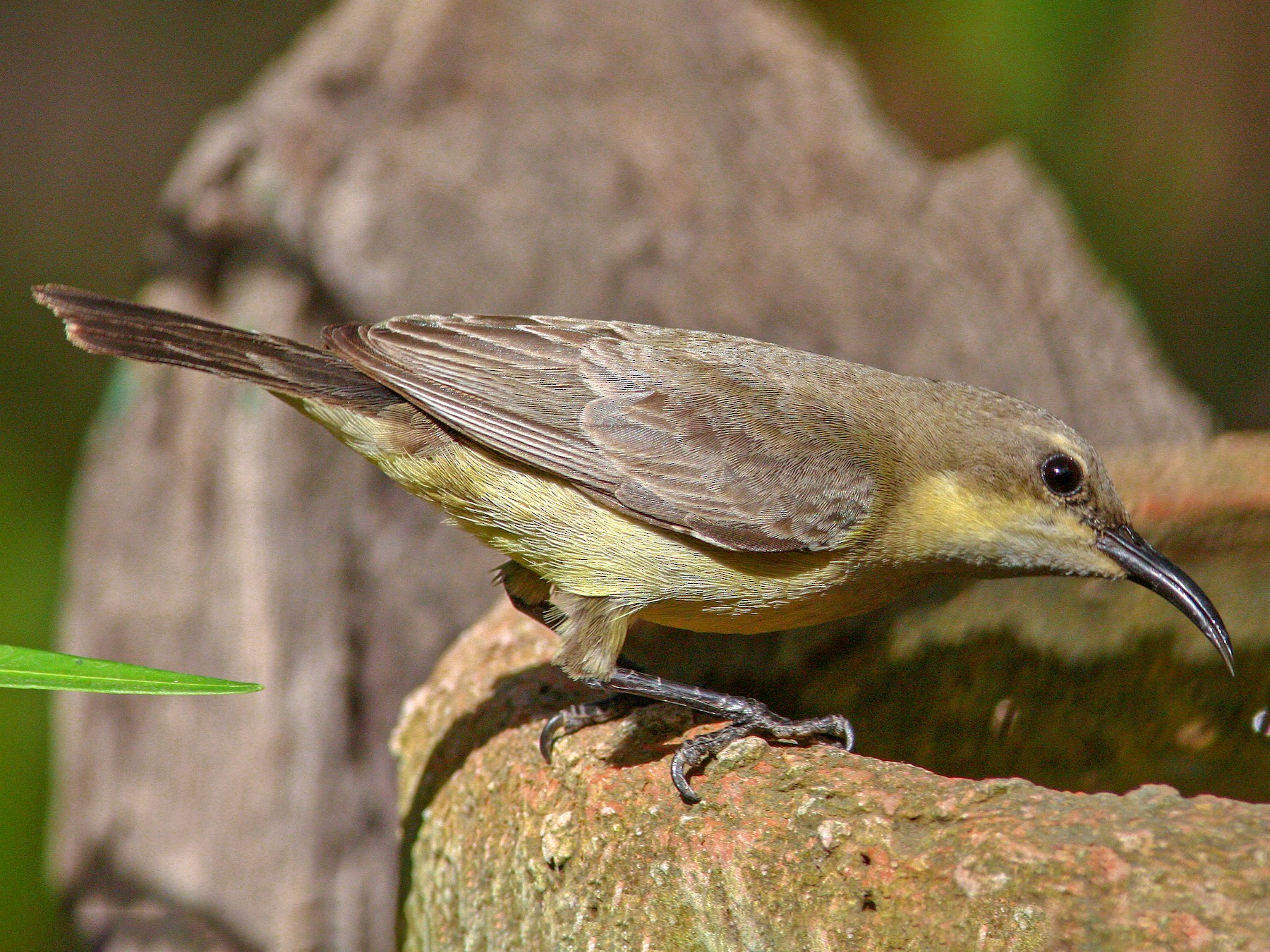 Beautiful Sunbird - Frans Vandewalle
