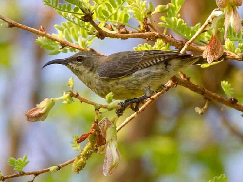 Black-bellied Sunbird - Maurizio Ravasini