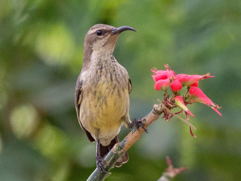 Black-bellied Sunbird - Simon Carter