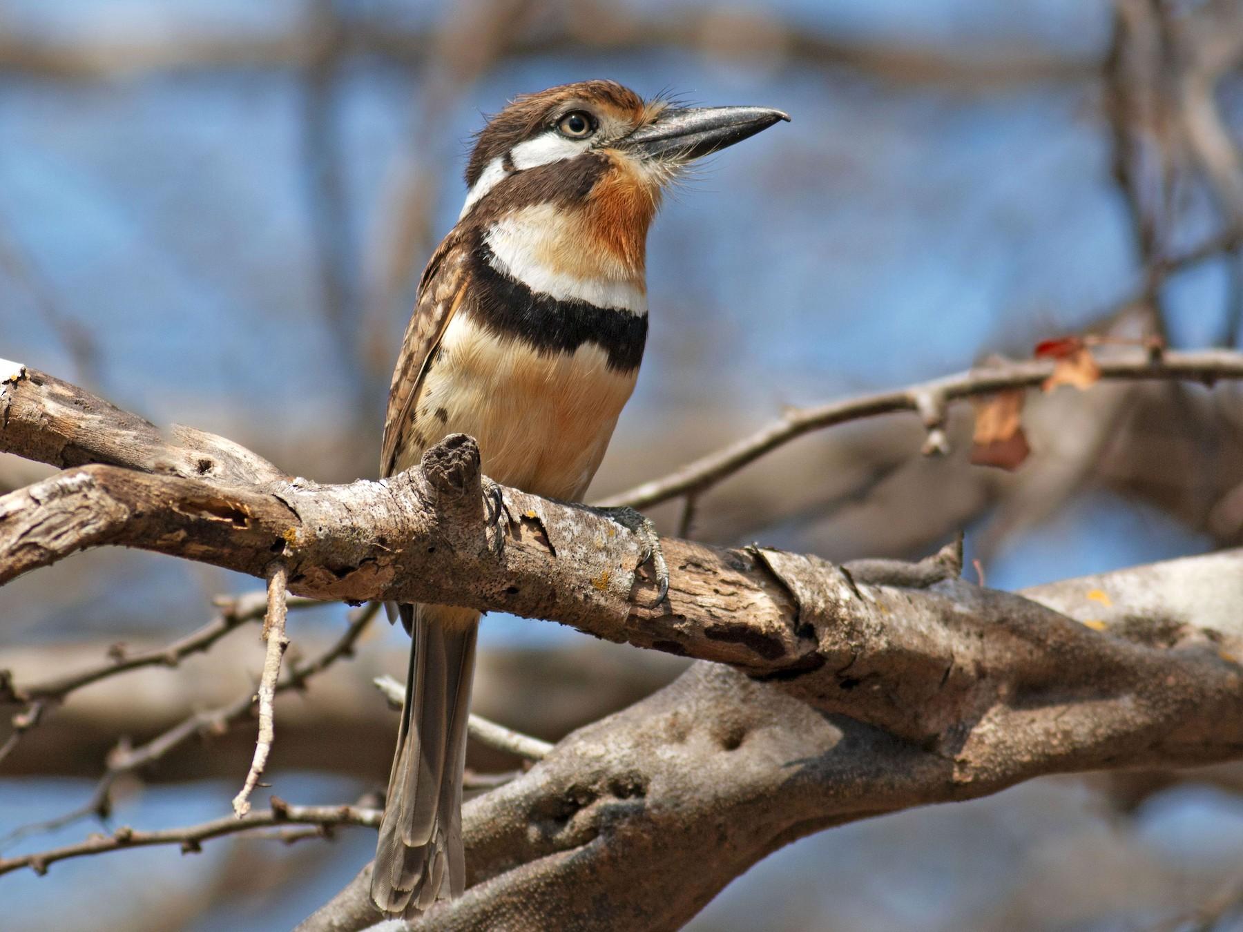 Russet-throated Puffbird - Jose Illanes