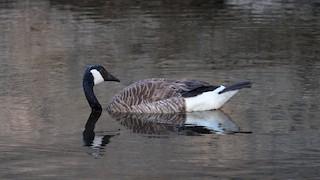 Canada Goose, ML247980721