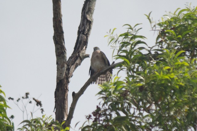 Chinese Sparrowhawk