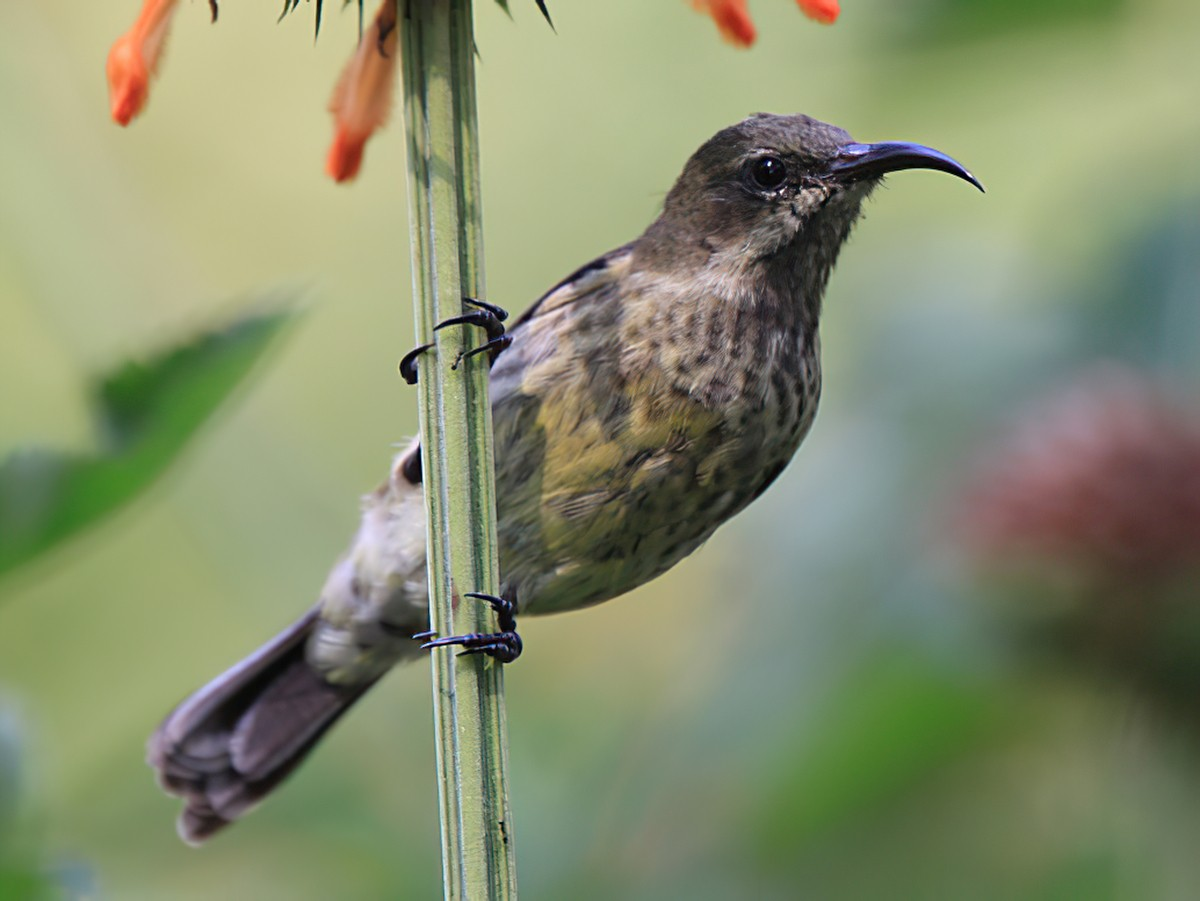 Red-chested Sunbird - Tadeusz Rosinski