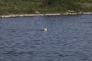 Snow Goose, ML248099651