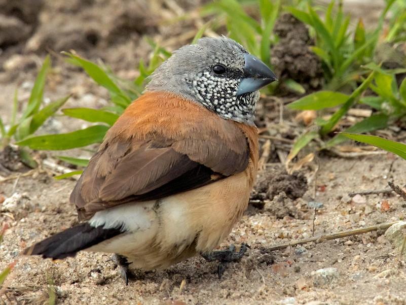 Gray-headed Silverbill - Lars Petersson