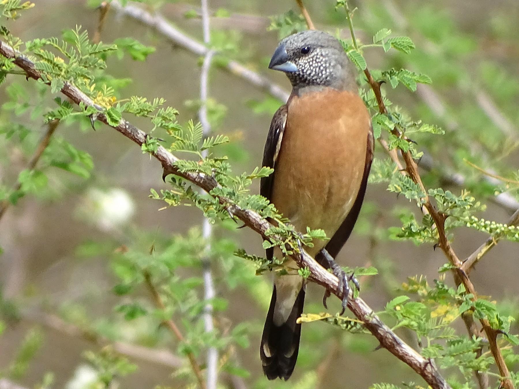 Gray-headed Silverbill - Doris  Schaule