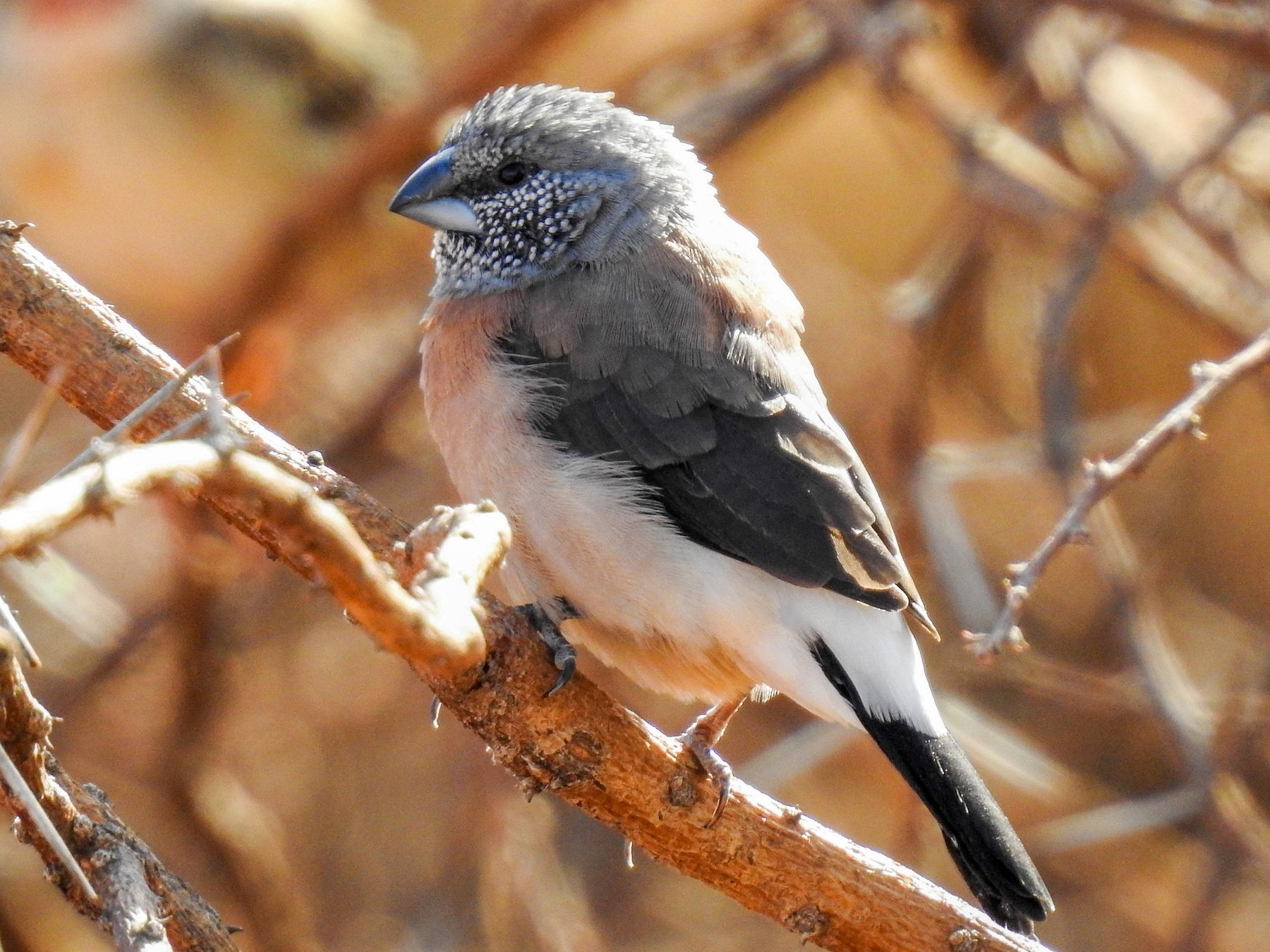 Gray-headed Silverbill - Nayana Amin