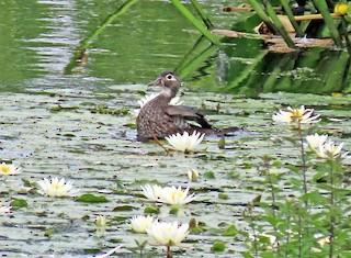 Wood Duck, ML248102501