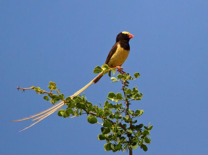 Straw-tailed Whydah - Morten Venas
