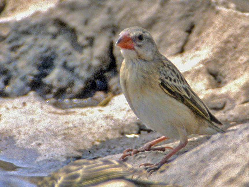 Straw-tailed Whydah - Don Roberson