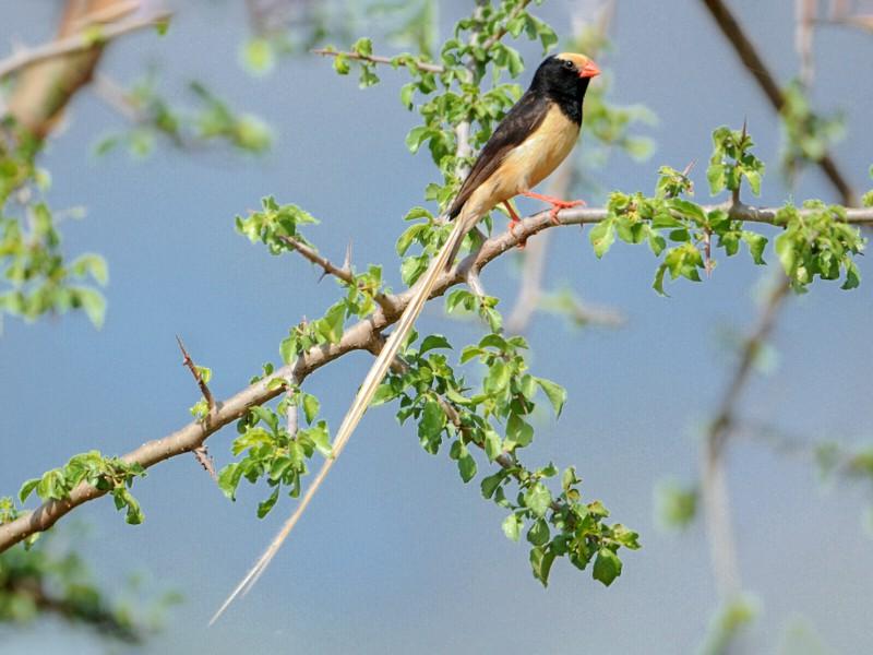 Straw-tailed Whydah - Tadeusz Stawarczyk
