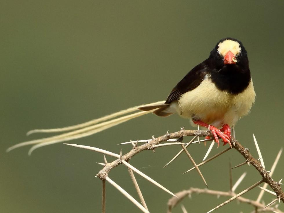 Straw-tailed Whydah - Markus Lilje
