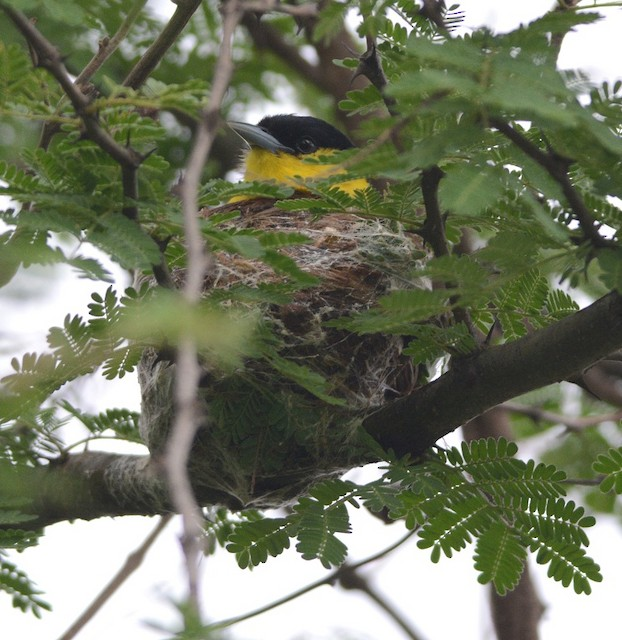 Male on nest.