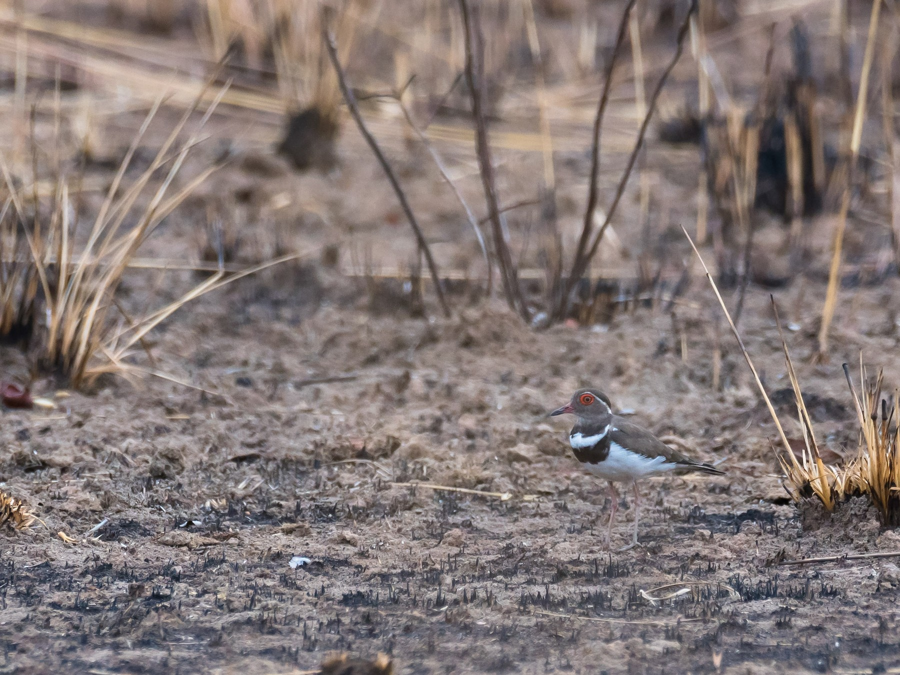 Forbes's Plover - Eric francois Roualet