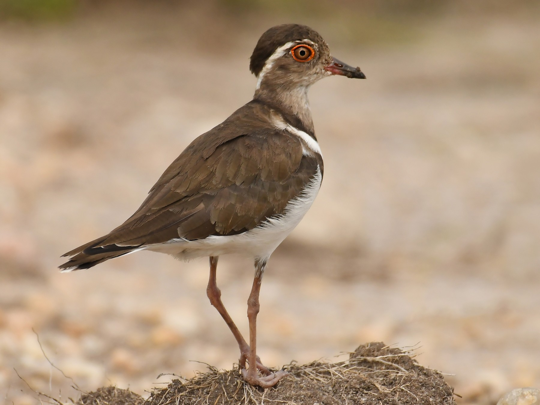 Forbes's Plover - Daryl Dell