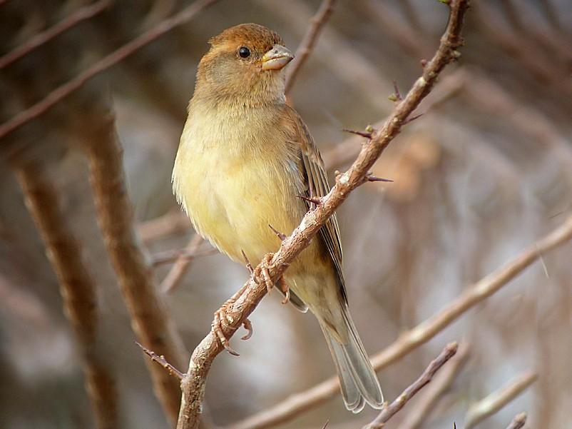 Somali Sparrow - Nik Borrow