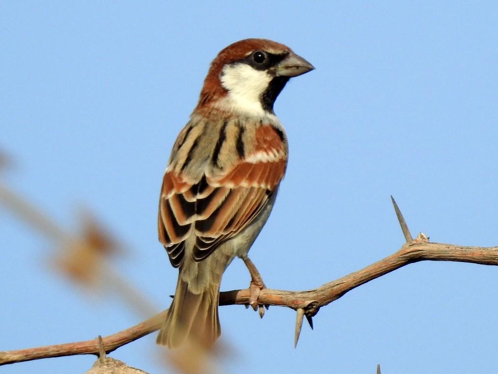 Somali Sparrow - Pedro Moreira