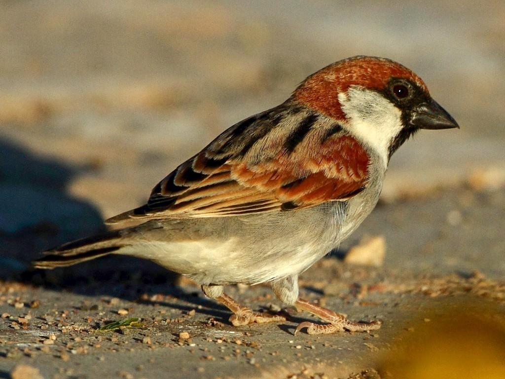 Somali Sparrow - Markus Lilje