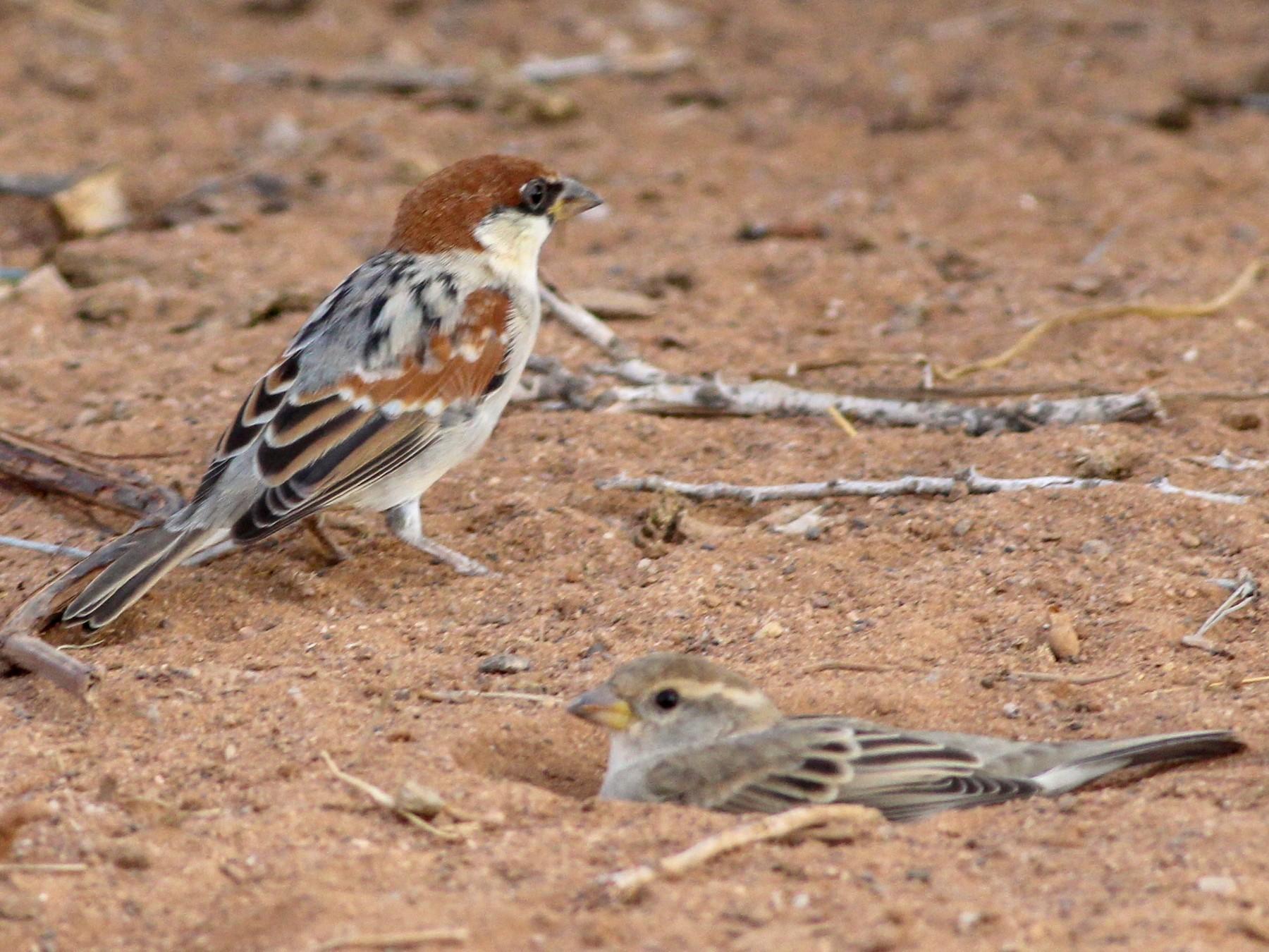 Somali Sparrow - Tyler Joyner