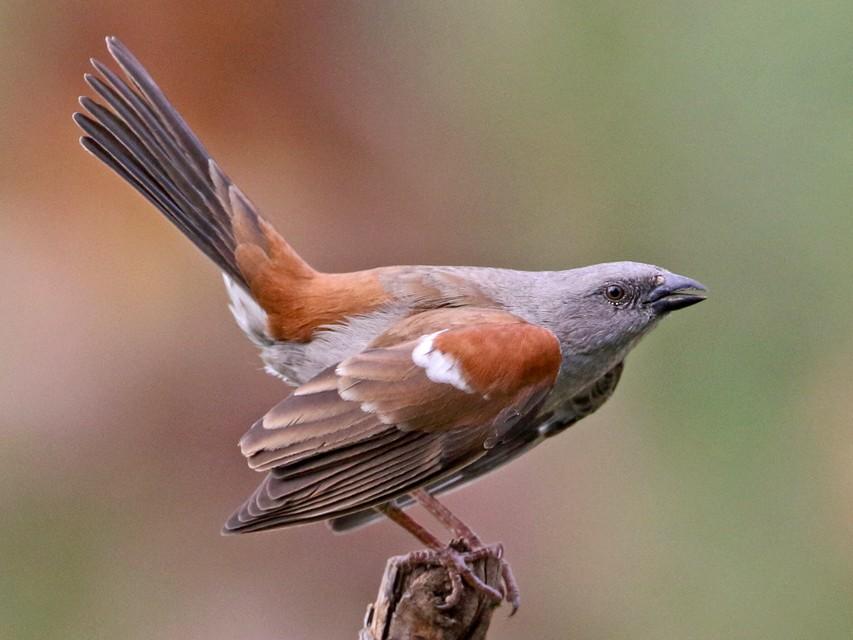 Swainson's Sparrow - Megan Perkins