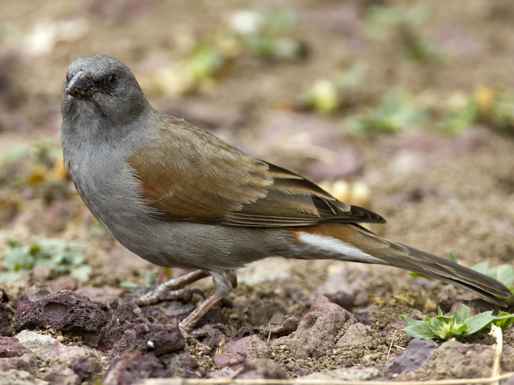 Swainson's Sparrow - Marco Valentini