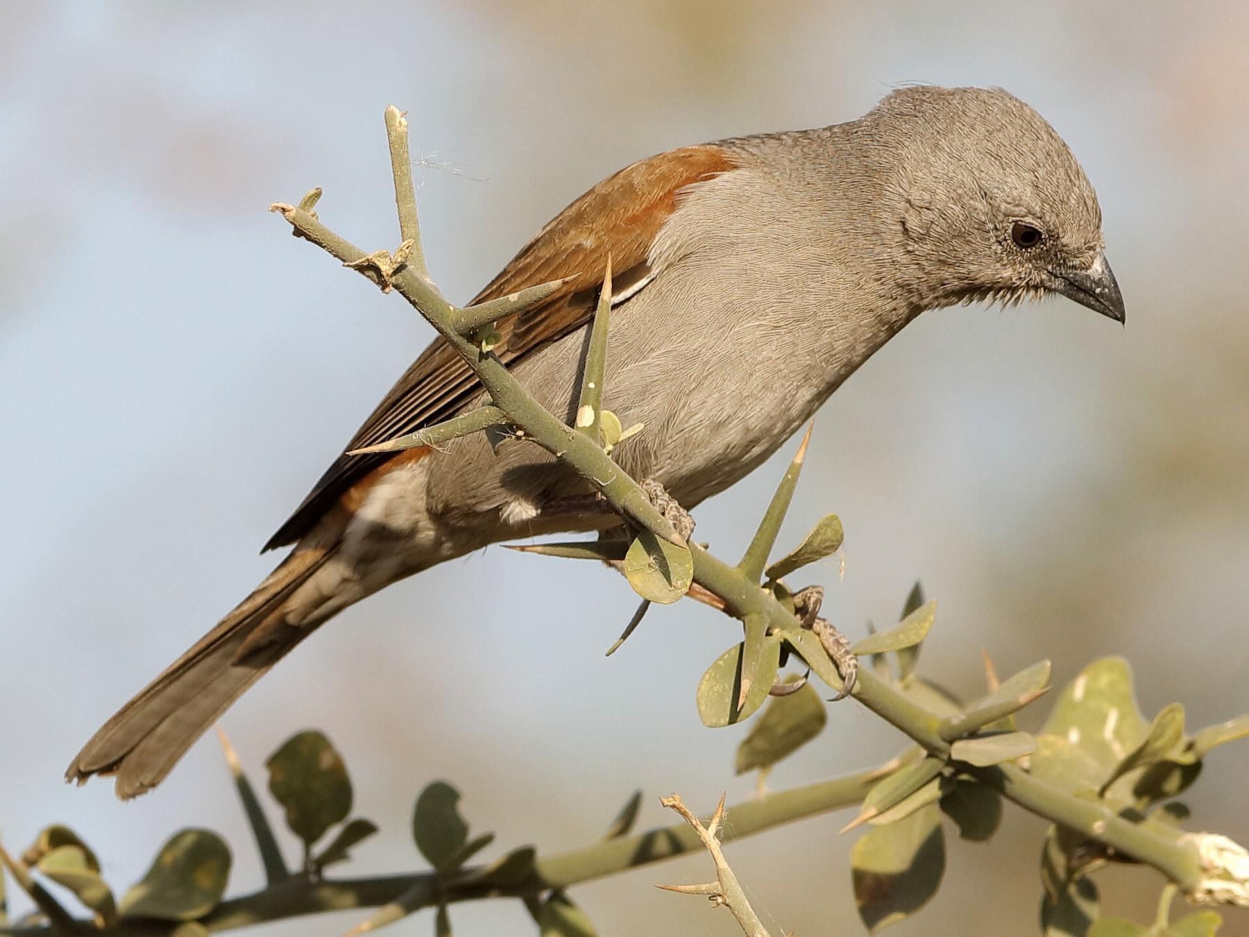 Swainson's Sparrow - Holger Teichmann