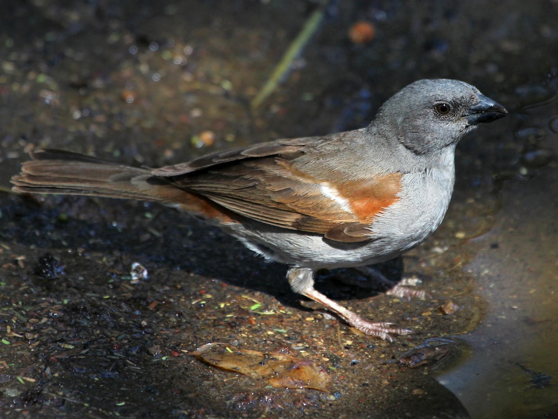 Swainson's Sparrow - Justin Goldberg