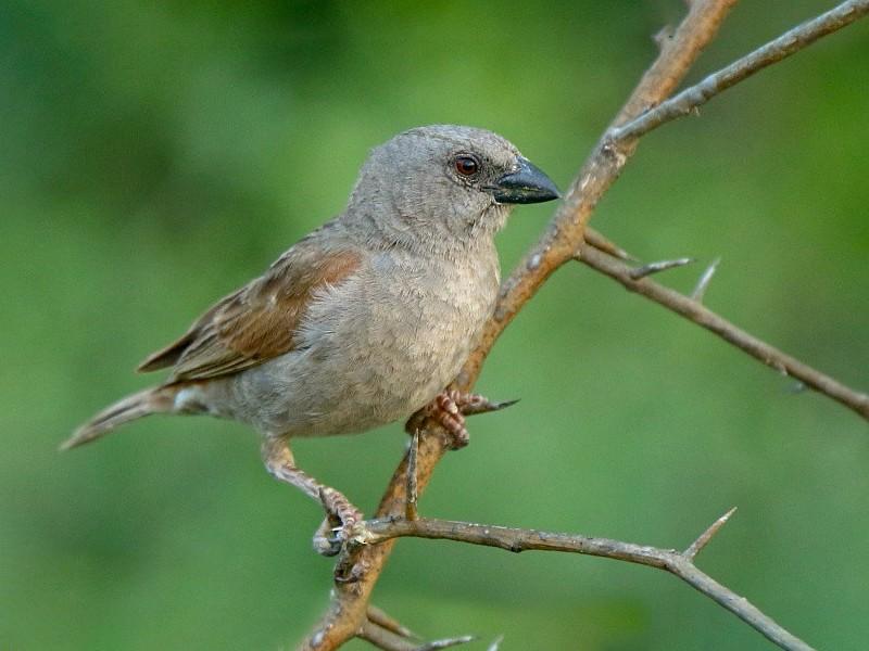 Parrot-billed Sparrow - Tadeusz Rosinski