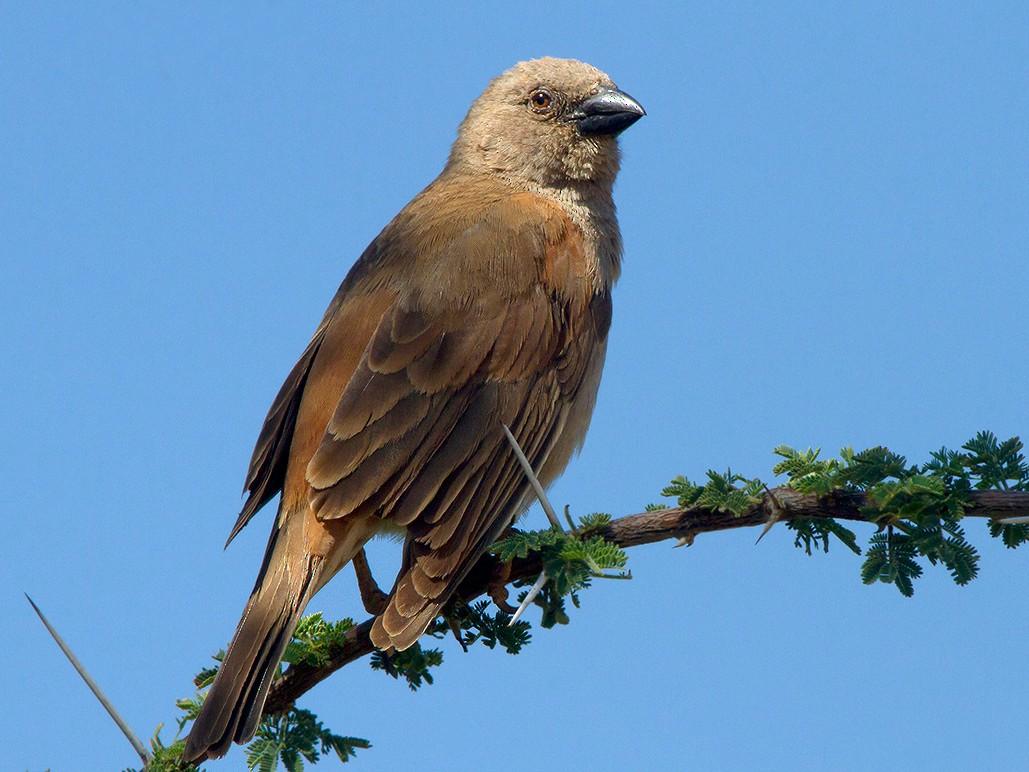 Parrot-billed Sparrow - Maurizio Ravasini