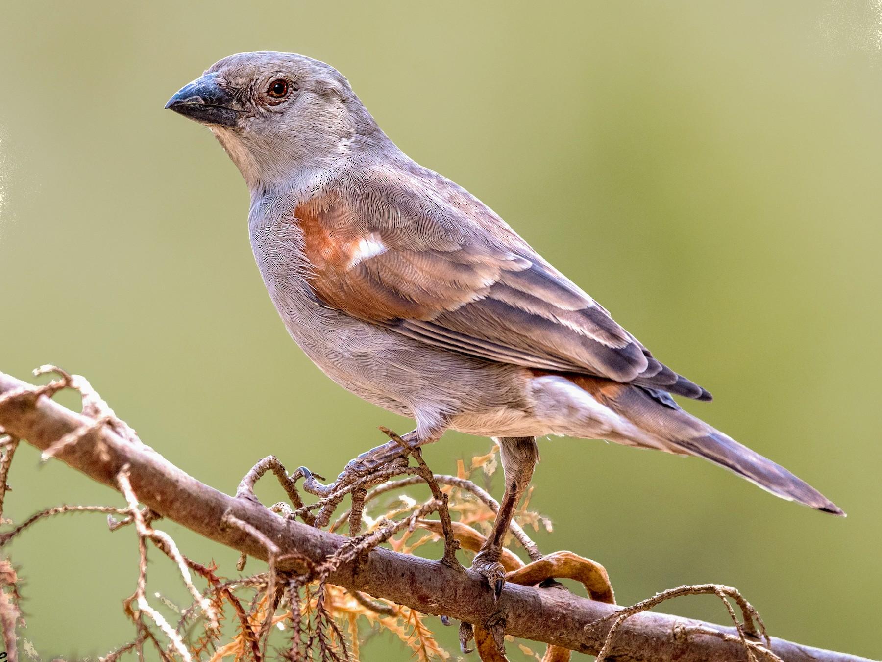 Parrot-billed Sparrow - Michel Bourque