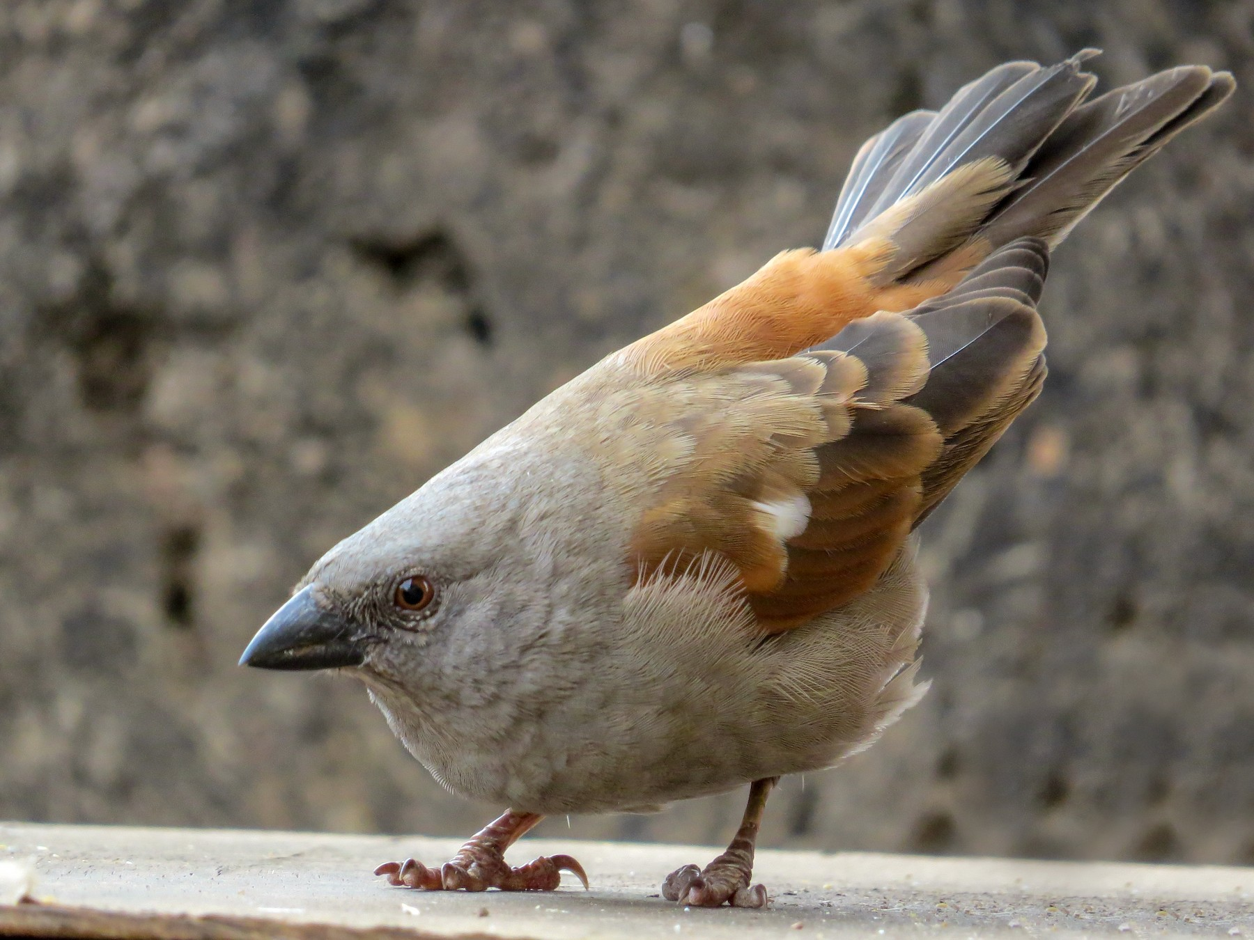 Parrot-billed Sparrow - James  Kashangaki