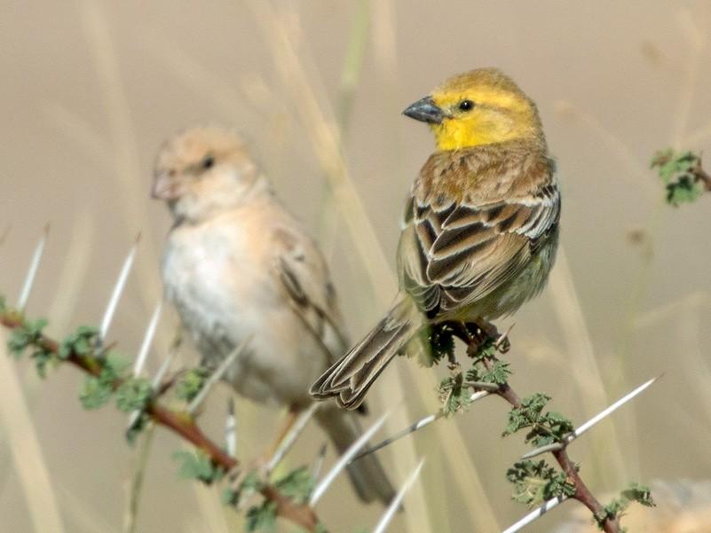 Sudan Golden Sparrow - Lars Petersson