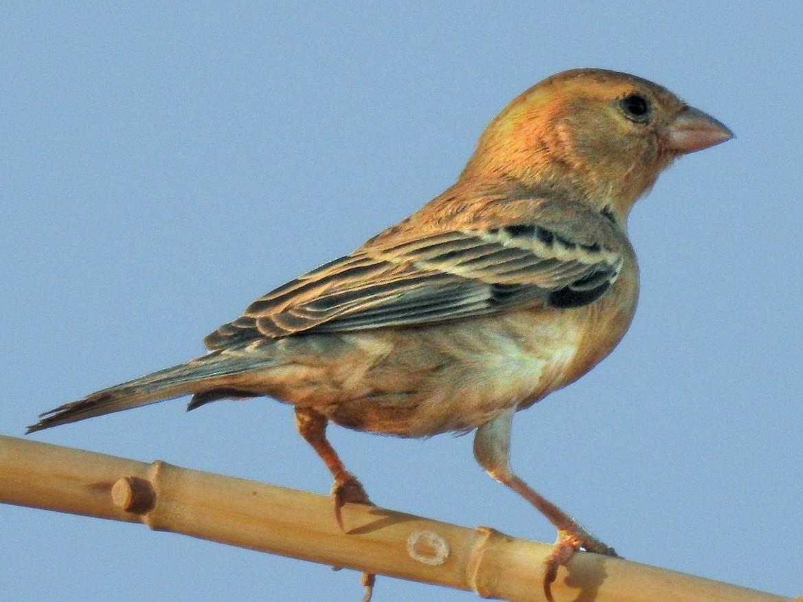 Sudan Golden Sparrow - Karim Haddad