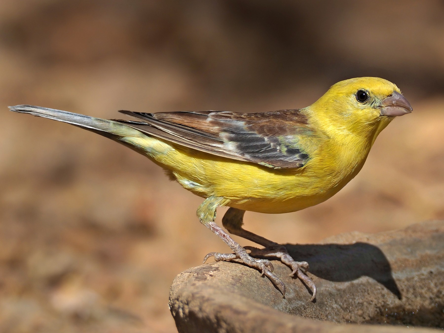 Sudan Golden Sparrow - Andrew Spencer