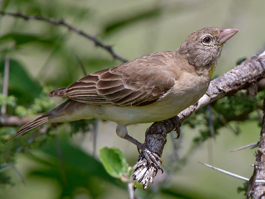Yellow-spotted Bush Sparrow - Maurizio Ravasini