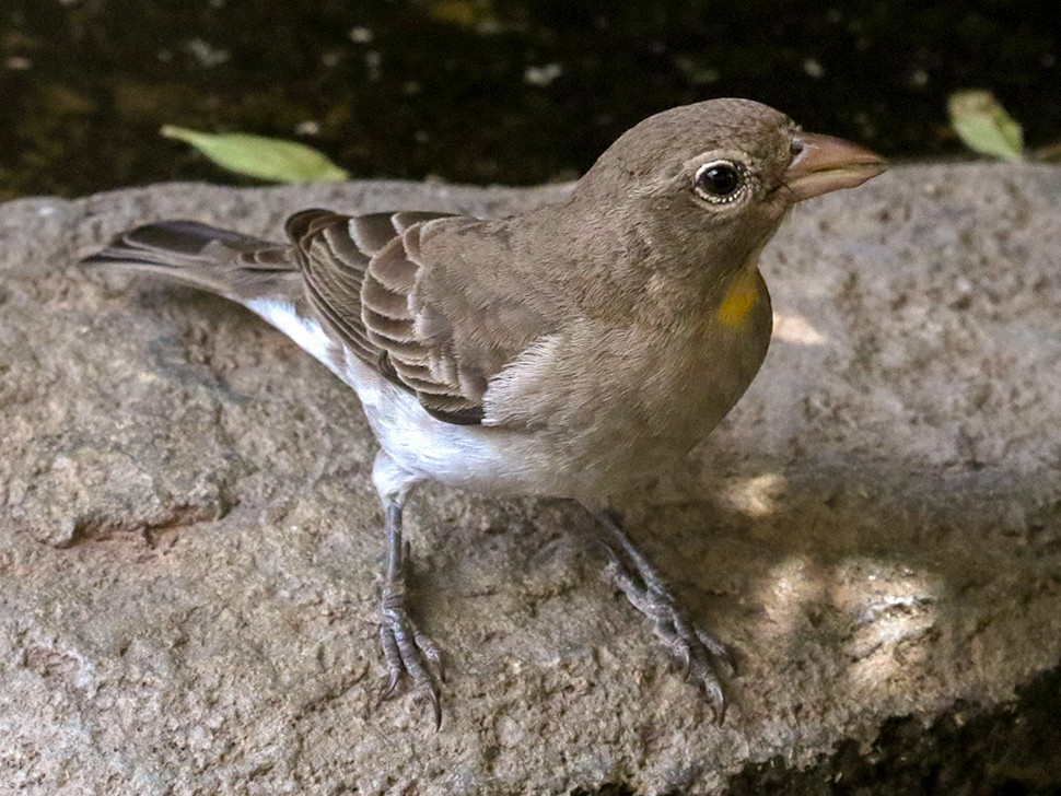 Yellow-spotted Bush Sparrow - Charley Hesse
