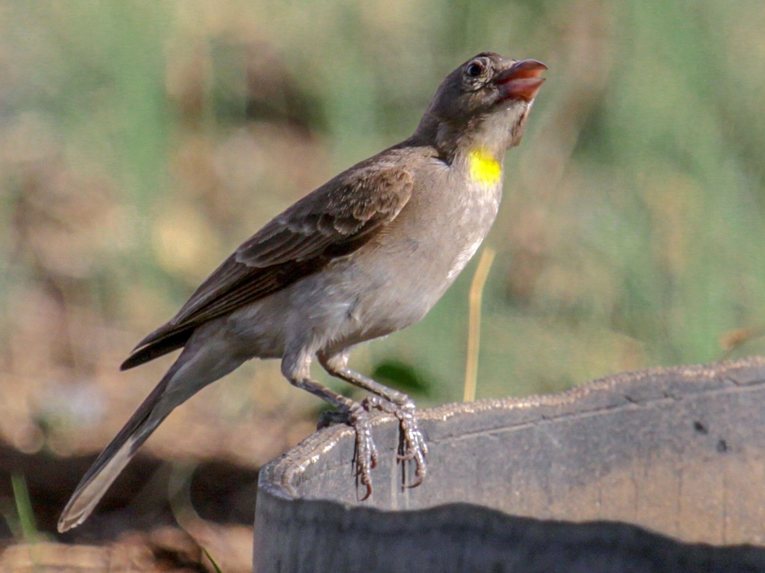Yellow-spotted Bush Sparrow - Tommy Pedersen