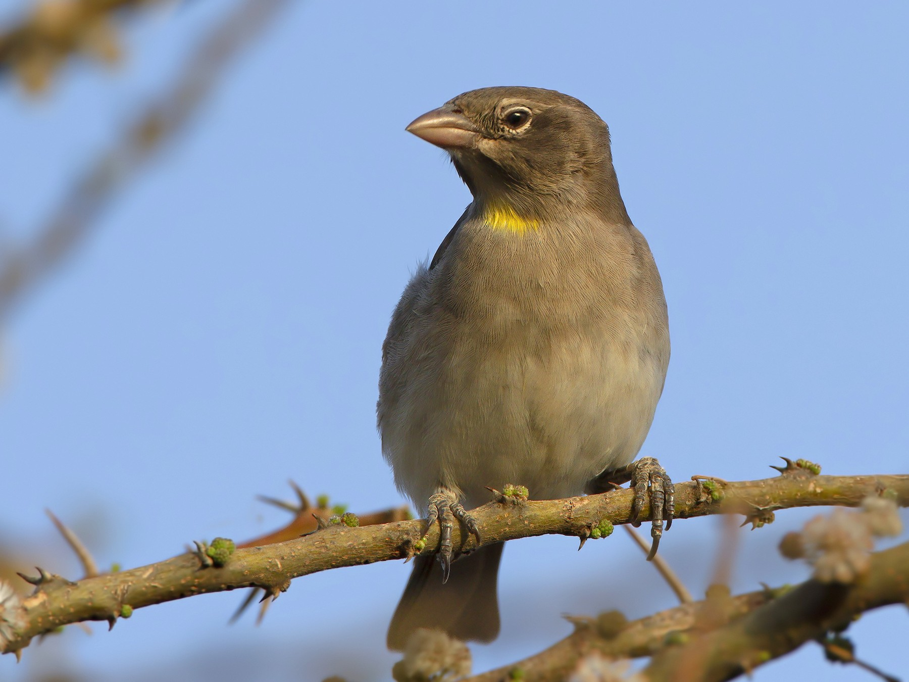 Yellow-spotted Bush Sparrow - Marco Valentini