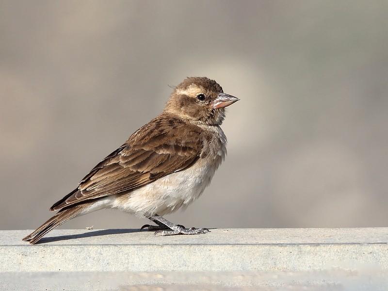 Sahel Bush Sparrow - Carlos Bocos