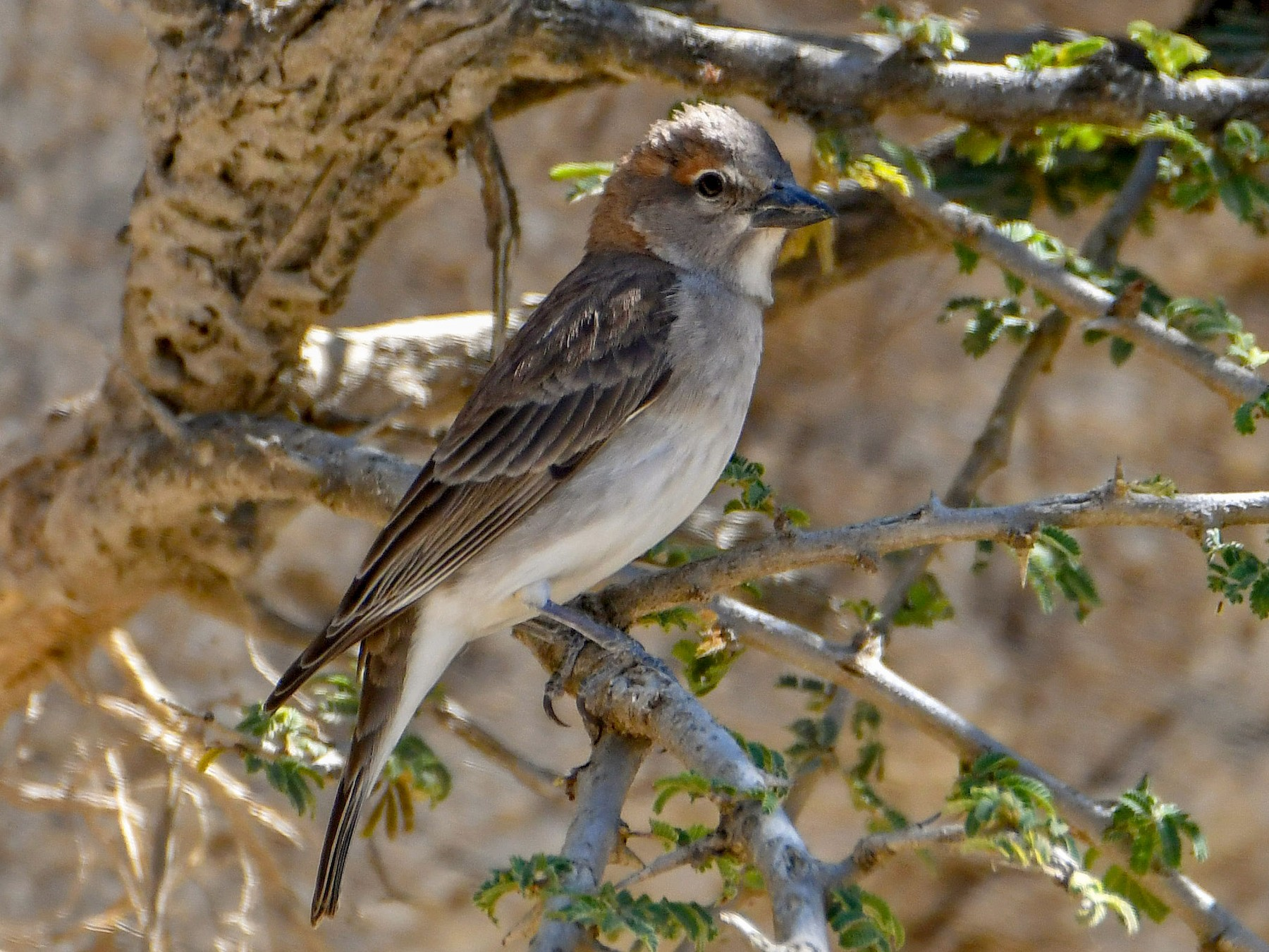 Sahel Bush Sparrow - Brian Henderson