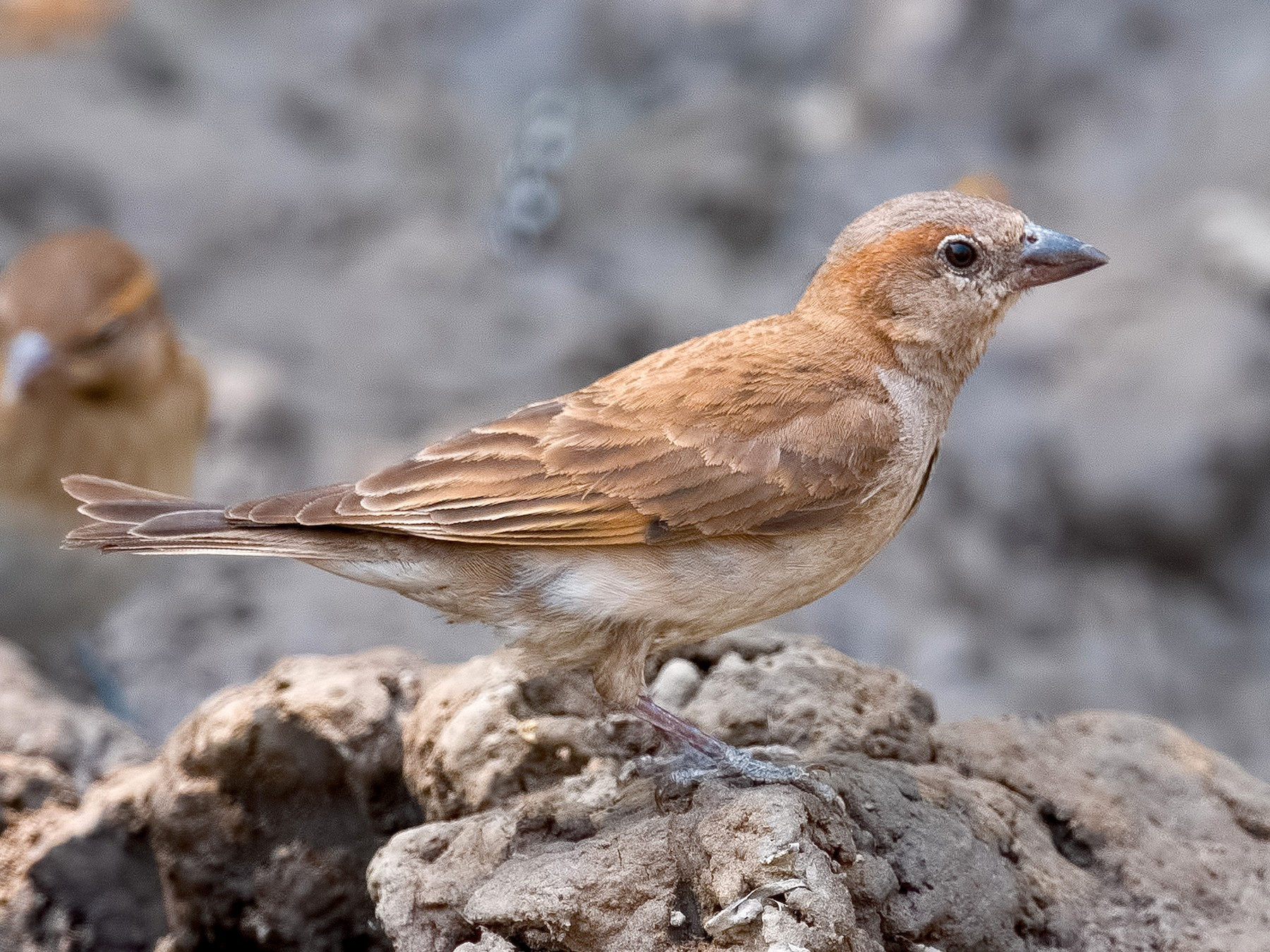 Sahel Bush Sparrow - Shailesh Pinto